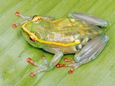 """Devido ao aspecto transparente da pele, é possível ver os ovos que uma Hyperolius leucotaenius (Perereca Transparente) """"grávida"""" carrega."""