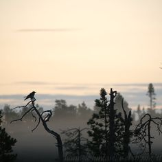 A crow saying goodbye to the setting sun in Kuhmo. What A Wonderful World, Late Nights, Winter Time, Crow, Wonders Of The World, Finland, Worlds Largest, Feather, Photograph