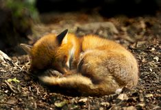 A sleepy little fox.