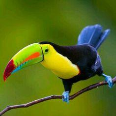 Keel Billed Toucan in Costa Rica