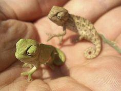 "Chameleon ""look, we've landed on a new planet"". Chameleon let's call it handland"". chameleon ""how about gianthandland. it's so big"" Cute Creatures, Beautiful Creatures, Animals Beautiful, Cute Baby Animals, Animals And Pets, Funny Animals, Wild Animals, Animal Babies, Baby Chameleon"
