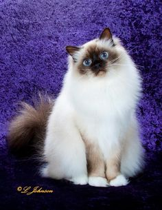 beautiful Birman cat --  the Birman is the Original  -   Ragdolls were created…