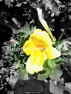 "2015 Black/White/Color: Yellow Dwarf Daylily  Order #20150716020 Wasaga Beach, Ontario. Available in  5""x7"" CAD $20.00 8""x10"" CAD $35.00 11""x14"" CAD $45.00 16""x20"" CAD $75.00 24""x36"" CAD $95.00 FREE SHIPPING Payment by https://www.paypal.me/BGiunta or email transfer brigittegiuntaimages@gmail.com email me or pm me to order. I can also send you an invoice from my paypal which can be paid by credit card. Check out this magazine online. It features some of my photos Pages 24-25, 92-93, 232-233…"