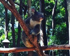 See my favourite photographs from our visit to the Currumbin Wildlife Sanctuary today on The Elegant Luxe Life at http://ift.tt/1jCsX2Q #elegantluxelife #currumbin #currumbinwildlifesanctuary #koalas #koalasanctuary #animalsanctuary #queensland #australia #photographs #seemyphotos #nativeaustraliananimals #animals #nature #naturesbeauty #australiananimals by elegantluxelife http://ift.tt/1X9mXhV