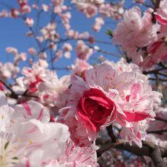 Japanese hana-momo (peppermint peach tree) in the Waseda neighborhood of Tokyo