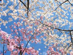 Spring Cherry Blossom - I like the amount of background.