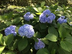 French hydrangeas may be water hogs, but extended periods of wet weather can cause them big problems. Suddenly, their pristine leaves become spotted, scorched, and dusted with powder. People in the…