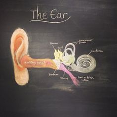 Anatomy of the ear. Waldorf homeschool. Grade 8. Chalk drawing.