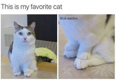new favorite cat - your daily dose of funny cats - cute kittens - pet memes - pets in clothes - kitty breeds - sweet animal pictures - perfect photos for cat moms Funny Animal Photos, Funny Animal Memes, Cute Funny Animals, Cute Baby Animals, Funny Cute, Cute Cats, Funny Pictures, Funny Memes, Animal Pics