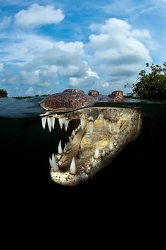 Nat'l Geographic photo competition - Young crocodile by Carlos Suarez, Jardines de la Reina, Cuba
