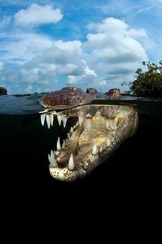Nat'l Geographic photo competition - Young crocodile by Carlos Suarez, Jardines de la Reina, Cuba