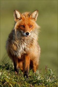 Fox by Gabi Marklein