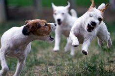 The Jack Russell is a happy, bold, energetic dog; they are extremely loyal, intelligent and assertive.