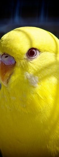 The budgerigar, also known as common pet parakeet or shell parakeet and informally nicknamed the budgie, is a small, long-tailed, seed-eating parrot.