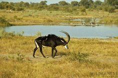 Little Vumbura  was awarded with a TripAdvisor Certificate of Excellence in 2013 #TripAdvisor #Safari #Africa #Botswana #WildernessSafaris