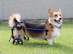 Rear Support Dog Wheelchair | K9 Carts The Pet Mobility Experts