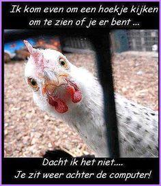 Share your Funny chicken pictures. - Chicken Forum <<<There's a CHICKEN forum? Farm Animals, Animals And Pets, Funny Animals, Cute Animals, Funny Chicken Pictures, Funny Animal Pictures, Tierischer Humor, Chicken Humor, Hen Chicken