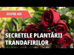 Herbs, Rose, Youtube, Gardening, Plant, Pink, Garten, Herb, Roses