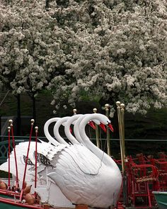 swan boats at the boston public gardens