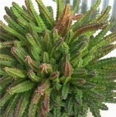 stapelia Calendula, Cactus Plants, Medicine, Cacti, Cactus
