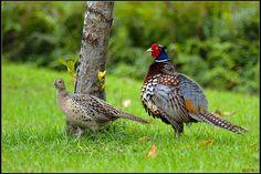 https://flic.kr/p/9nwdmA | 環頸雉_Ring-necked Pheasant | 學 名: Phasianus colchicus (Ogilivie-Grant) 英 名: Common pheasant ( Ring-necked Pheasant )  台 灣 特 有 亞 種 。 主 要 棲 息 於 平 地 至 丘 陵 台 地 或 開 闊 溪 床 的 草 生 地 或 耕 作 地 。 其 它 另 有 許 多 亞 種 廣 泛 分 布 於 世 界 各 地 。 形 態 特 徵 : 環 頸 雉 雄 鳥 全 長 約 80cm, 雌 鳥 全 長 約 60cm; 翼 長 約 23cm。 嘴 、 腳 淡 青 灰 色 。 雄 鳥 : 臉 紅 色 , 頭 頂 藍 綠 色 帶 褐 色 , 有 冠 羽 ; 頸 部 有 白 色 頸 環 , 頸 環 以 上 暗 綠 色 而 有 光 澤 ; 背 部 黃 褐 色 , 雜 有 黑 色 及 %