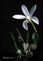Fournieri Laelia.  Uma orquídea espécies (cor)