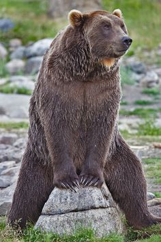 Grizzly Bear by paulgillphoto, via Flickr