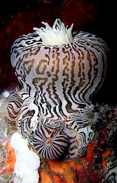 unusual sea anemone, looks like zebra stripes - (CC) Nick Hobgood - Life Under The Sea, Under The Ocean, Sea And Ocean, Pacific Ocean, Underwater Creatures, Underwater Life, Ocean Creatures, Underwater Photos, Bizarre Animals