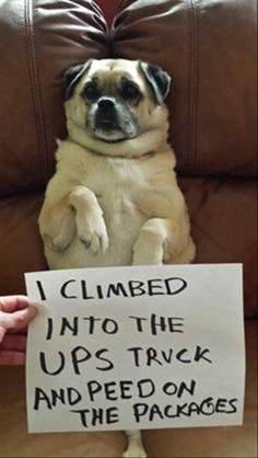 """I love this pug! """"I climbed into the UPS truck and peed on the packages."""" ~ Dog Shaming shame - Pug mix DRH was here. Cute Funny Animals, Funny Cute, Funny Dogs, That's Hilarious, Hilarious Photos, Silly Dogs, Super Funny, Cat Shaming, Funny Shit"""