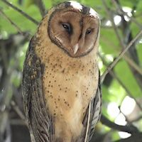 Owls of the world: from under the Land Downunder, the Tasmanian Masked Owl --> http://owlpag.es/4j
