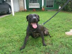 03/22/16 - l~Houston, TX Caleb is a ladies man! If you are looking for a sweet, loving, dedicated dog that you can snuggle up in bed with at night....this is your ma...