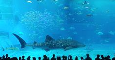 Requin-baleine à l'aquarium d'Okinawa