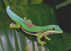 lined-day-gecko.jpg (700×500)