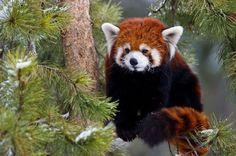 Малая панда в зоопарке Калга...