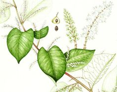 Botanical illustration of Japanese Knotweed in a sketchbook style by Lizzie Harper