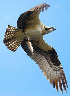 Osprey of the year @ Lake Kayak. Osprey Bird, Bird Poster, Birds Of Prey, Hawks, Bird Feathers, Trout, Kayaking, Wildlife, Wings