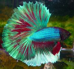 prettiest betta  | Prettiest Betta Fish At the international betta
