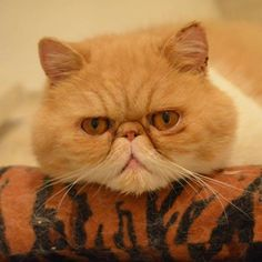 Exotic shorthair cat Chester on his Kong (ear gunk is a result of an allergy flare-up).