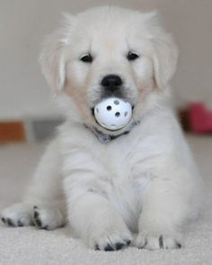 Love Golden Retrievers?  View Our Facebook Page https://www.facebook.com/pages/Dont-Hurt-Me-Im-Your-Best-Friend/636479679717238 & Join Over 9,000 Other Dog Lovers
