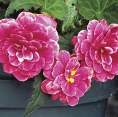 57-24  Begonia - On Top 'Melon Lace'  Part/Full Shade - Porch