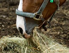 Feeding Hay to Horses: Dry, Dampened, Soaked, or Steamed?