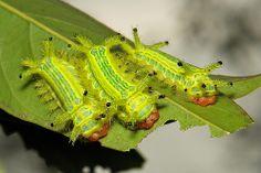 """Outros exemplares de lagartas de mariposas, da família Limacodidae. Estas são chamadas de   """"Topo de Cenoura"""" e seu nome científico é Setora sp. Encontradas em Pu'er, Yunnan, China."""