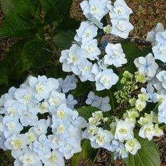 Shrubs/Hydrangea at the Wairere Nursery Online Shop