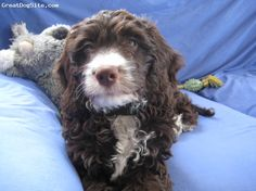 Springerdoodle!! This sort of looks like mine, but ours is a tricolor-Liver,roin and a little white. <3