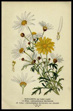 Botanical Print  Paris Daisy