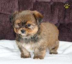 <3 Latte is one of those Pups that you wont be able to help but love! Cute as a Button with Super Sweet Personality! #ShorkiePup <3 #PuppyLove <3 #CuteAsAButton #LancasterPuppies www.LancasterPuppies.com Shorkie Puppies For Sale, Best Guard Dogs, Lancaster Puppies, Left Alone, Puppy Love, Latte, Personality, Cute Animals, Button
