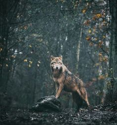 Lone wolf in the wild. Wolf Images, Wolf Pictures, Beautiful Creatures, Animals Beautiful, Cute Animals, Wolf Poses, Wolf Husky, Wolf Photography, Wolf Stuff
