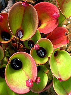 Heliamphora sun pitchers. Carnivorous plants