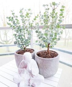 Eucalyptus growing indoors # growing # at home - Diy Garden Projects Eucalyptus Tree, Eucalyptus Plant Indoor, Eucalyptus Centerpiece, Eucalyptus Shower, Eucalyptus Bouquet, Eucalyptus Wedding, Diy Garden, Organic Gardening, Gardens