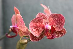 Orchid By Gary Smithwick